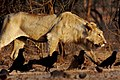 Panthera leo persica -Kachchh, Gujerat, India -female-8.jpg