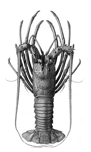 Panulirus longipes - Panulirus longipes illustrated by Louveau in L. Guerin's Nouvelles Archives du Muséum d'Histoire Naturelle, 1868