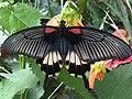 Papilio memnon 4.jpg