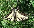 Papilio rutulus-2.jpg