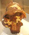 Paranthropus boisei.jpg