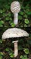 Parasol-macrolepiota procera.jpg