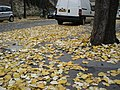 Paris 75018 Avenue Junot autumn leaves.jpg
