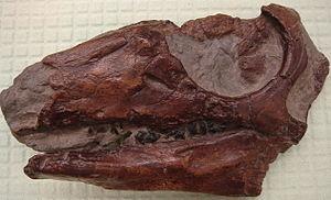Parksosaurus - Skull cast of Parksosaurus