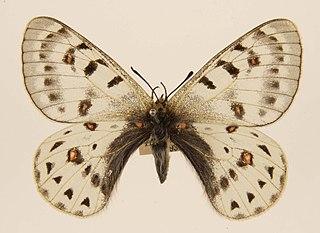 <i>Parnassius tenedius</i> species of insect