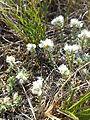 Paronychia cephalotes sl1.jpg