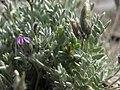 Parry oxytrope, Oxytropis parryi (39570945870).jpg