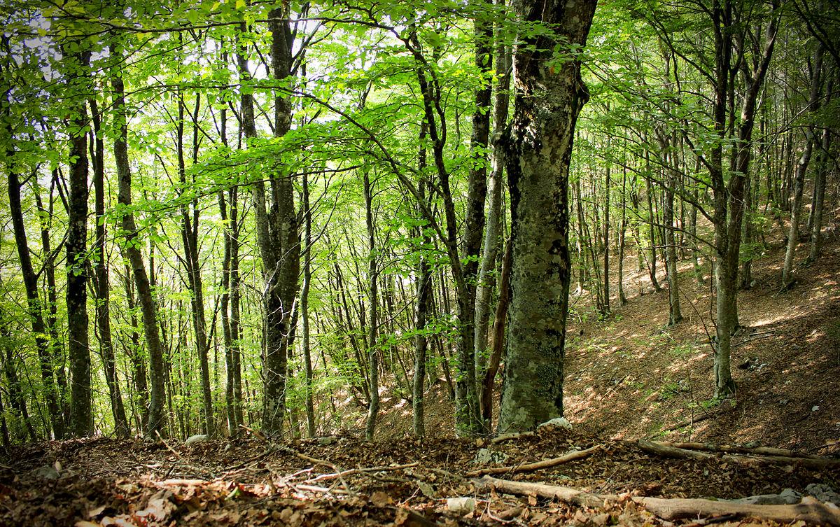 Foresta wikipedia for Foto di alberi da colorare