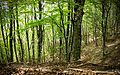 Particolare della foresta di faggi - Parco Naturale dei Monti Aurunci.jpg