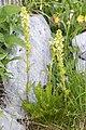 Pedicularis julica 23.jpg
