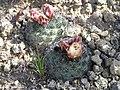 Pediocactus simpsonii in SW Idaho closeup.jpg