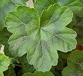 Pelargonium leaf.jpg