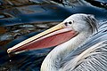 Pelican-pink-backed.jpg