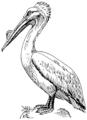 Pelican 2 (PSF).png