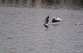 Pelican Dance.jpg