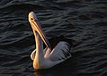 Pelican in the sunset. (14452424233).jpg
