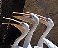 Pelicans (5465758465).jpg