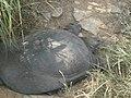 Pelochelys cantorii Ranthambore National Park, Ranthambore, Rajasthan.jpg