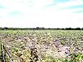Perímetro irrigado baixo Acaraú - panoramio.jpg