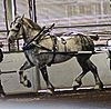 A Percheron in harness