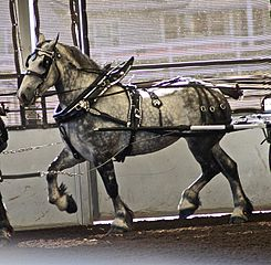 Percheron3.jpg