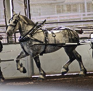 Percheron A breed of draft horse from France