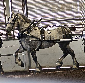 Percheron - A Percheron in harness
