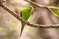 Periquito-rico (Brotogeris tirica) - Plain Parakeet.jpg