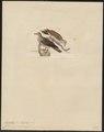 Peristera jamaicensis - 1820-1860 - Print - Iconographia Zoologica - Special Collections University of Amsterdam - UBA01 IZ15600227.tif