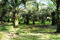 Perkebunan kelapa sawit milik rakyat (38).JPG