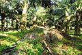Perkebunan kelapa sawit milik rakyat (68).JPG