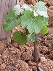 Photographie montrant les premières feuilles d'un jeune plant de vigne dans le vignoble d'Alsace