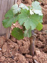 Viticulture wikimonde - Pied de vigne en pot ...