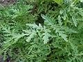 Phacelia tanacetifolia 2017-05-23 1274.jpg