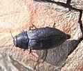 Phaenops cyanea up.JPG