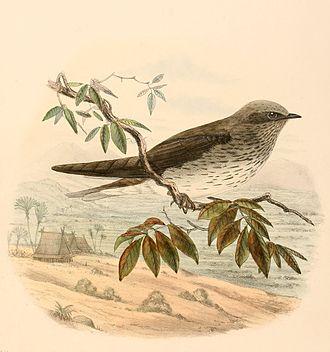 Mascarene martin - Madagascan subspecies by Claude W. Wyatt, 1894
