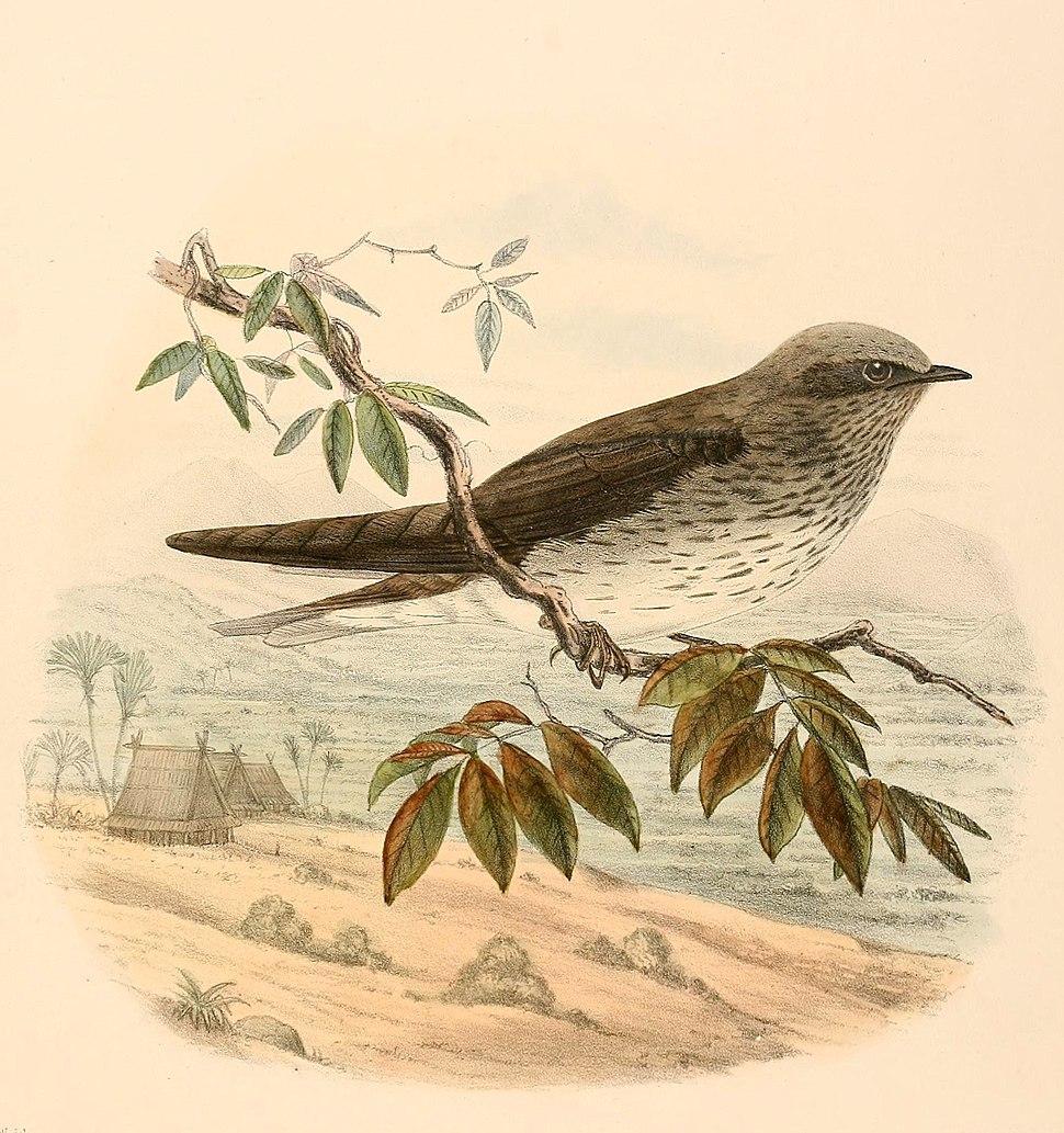 Phedina borbonica madagascariensis 1894