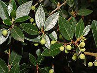Phillyrea latifolia2