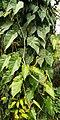 Philodendron hederaceum var. kirkbridei Leaves.jpg