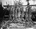 Photograph of Bucks Killed by Hunters - NARA - 2128417.jpg