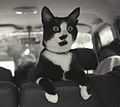 Photograph of Socks the Cat Perched on the Backseat of a Van- 09-16-1993 (6461497597) (cropped).jpg