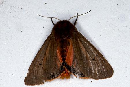 Phragmatobia fuliginosa, Lodz(Poland)03(js).jpg