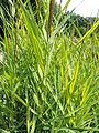 Phragmies australis variegatus kz1.JPG