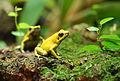 Phyllobates-terribilis-Zoo-Zuerich.jpg