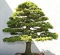 Picea jezoensis 0zz.jpg