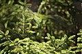 "Picea rubens says ""Hello"" (22469096504).jpg"