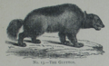 Picture Natural History - No 13 - The Glutton.png