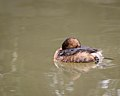 Pied-billed Grebe taking a nap (39636131251).jpg