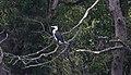 Pied Cormorant (Phalacrocorax varius) (31247127736).jpg