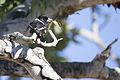 Pied butcherbird 1 (15090539242).jpg